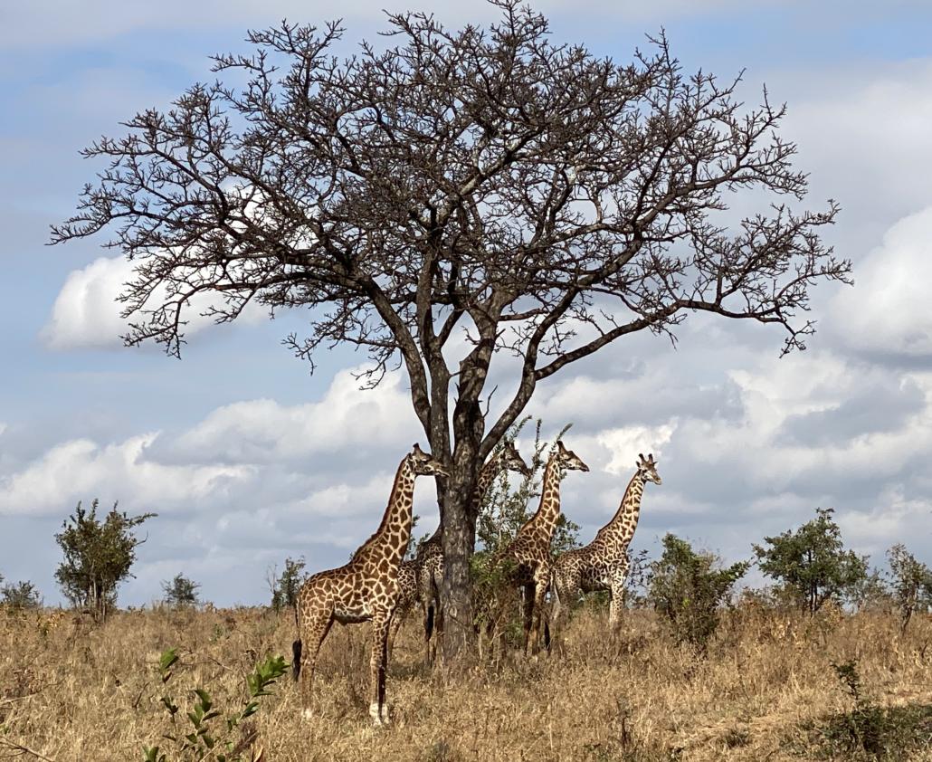 Safari Giraffen